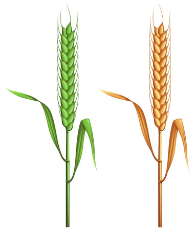 green wheat: Green and gold wheat. Illustration