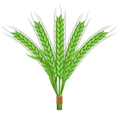 green wheat: Green wheat. Illustration