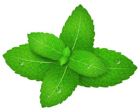 freshness: Mint. Vector illustration.