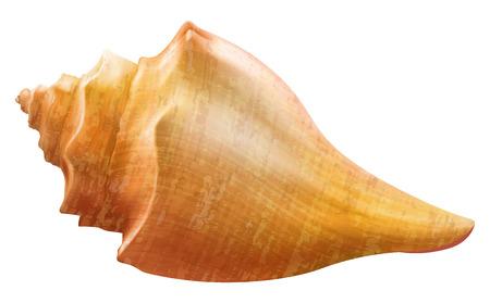 dcor: Seashell. Vector illustration.