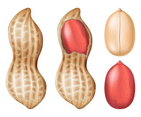 ピーナッツ。ベクトルの図。