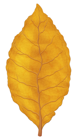 Dry tobacco leaf on white background. Vector illustration. Vectores