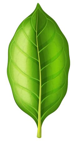 Tobacco leaf on white background. Vector illustration. Illustration