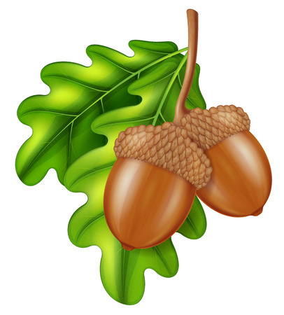 Oak branch with acorns and green leaves. Vector illustration.