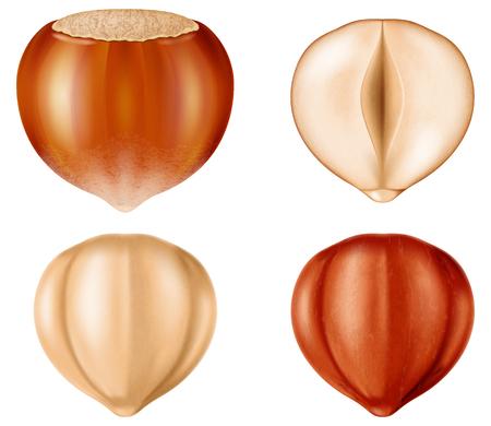 Hazelnut illustration isolated on white Illustration