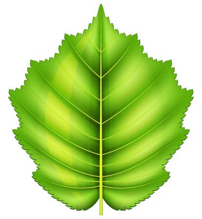Hazelnut leaf illustration isolated on white