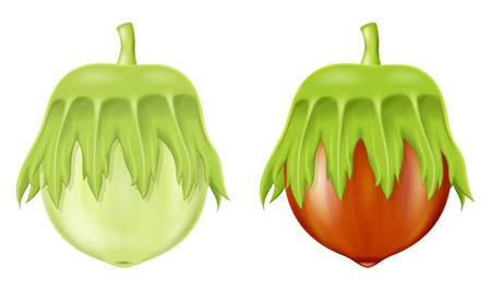 Green hazelnut illustration isolated on white