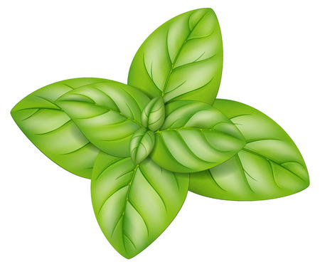 Oregano leaves. Vector illustration.