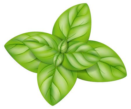 Oregano leaves. Vector illustration.