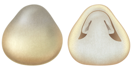 Volvariella volvacea or straw mushrooms. Vector illustration. Stock Illustratie