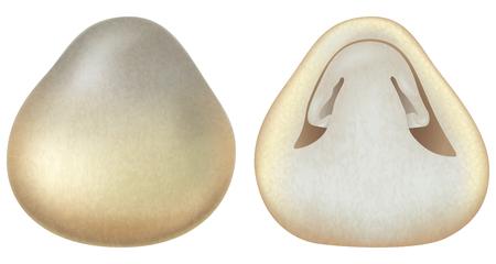 Volvariella volvacea or straw mushrooms. Vector illustration. Illustration