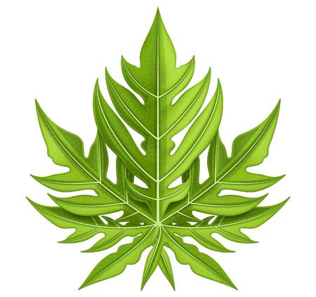 Papaya leaf isolated on white. Vector illustration.