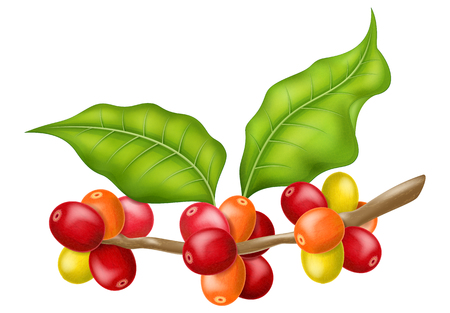 Coffee tree branch with leaves and berries.