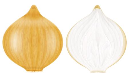 Onion, whole and half. Vector illustration. Illustration
