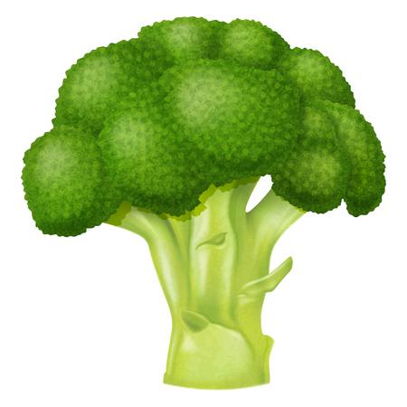 Fresh broccoli. Vector illustration.