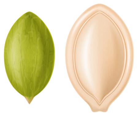 Pumpkin seeds - hulled and hulless. Vector illustration.