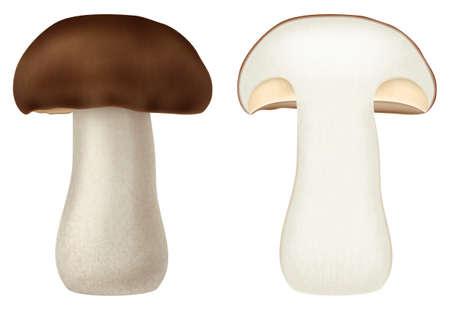 Boletus edulis or cep forest mushroom. Vector illustration.