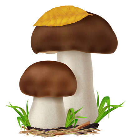 Boletus edulis mushrooms with green grass and dry leaf. Vector illustration.