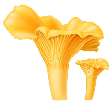 Yellow chanterelle mushrooms isolated on white background. Vector illustration.