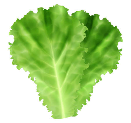Fresh green leaves of iceberg lettuce isolated on white background. Photo-realistic vector illustration.