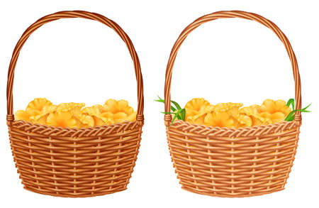 Wicker basket with yellow chanterelle mushrooms isolated on white background. Vector illustration.