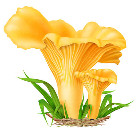 Yellow chanterelle mushrooms with green grass isolated on white background. Photo-realistic vector illustration. Illustration