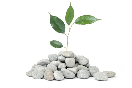 meditation stones: Stones and tree on a white background
