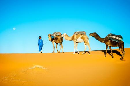 running camel: Camel caravan moving in Sahara desert in morning. Morocco Sahara desert Stock Photo