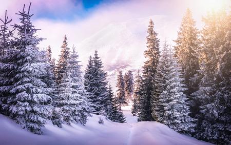 montañas nevadas: Puesta de sol en el bosque entre los árboles cepas en período de invierno. montañas Carphatian