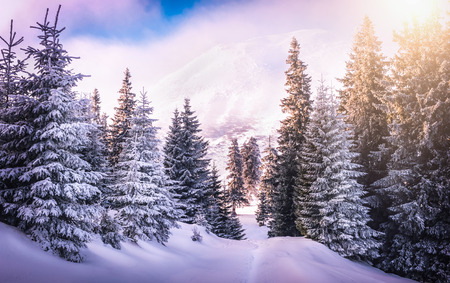 Sunset in the wood between the trees strains in winter period. Carphatian mountains Stock Photo