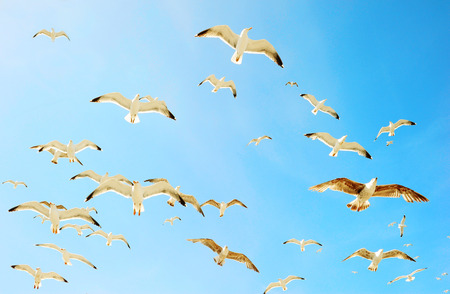 wingspread: Swarm of sea gulls