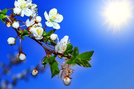 stamen wasp: flowers of cherry