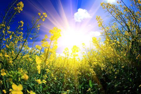 summer season: rape and sun Stock Photo