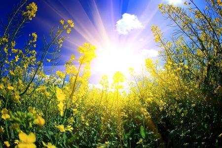 sun flower: rape and sun Stock Photo