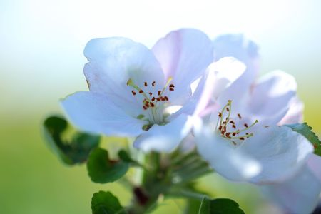 flowers of apple-tree photo