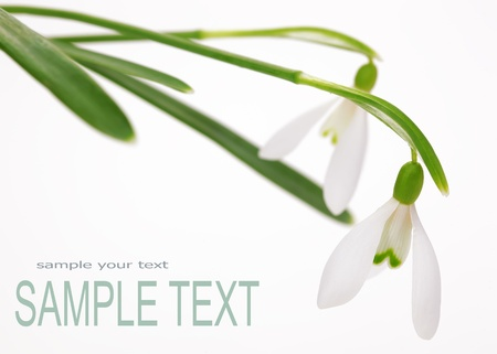 snowdrop: Snowdrop flower, with space for text  Stock Photo
