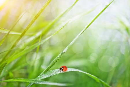 Grass with dew and ladybird