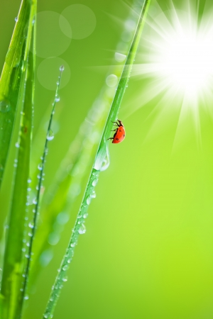 Grass with dew and ladybird photo