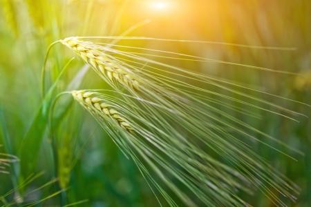 cosecha de trigo: Trigo verde en el campo