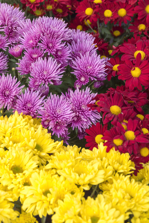 ornamental garden: Colorful flowers