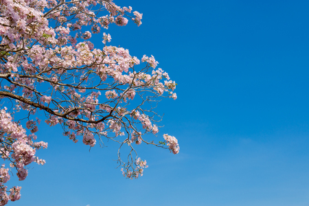 Plumeria flowers in winter expands into the sky. Stock Photo