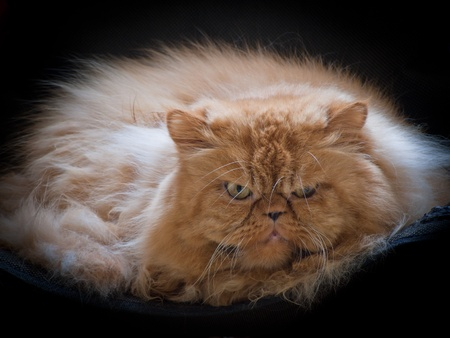 Red-haired Persian cat extremals photo