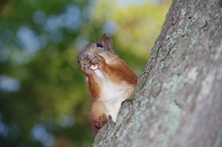 Squirrel with a nut on a tree photo