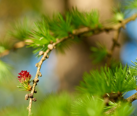 fir cones: Fir cones with red spring