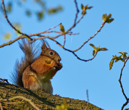 furry tail: red squirrel sitting on a branch