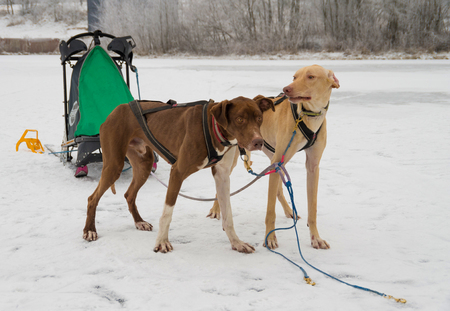 two dogs harnessed to sports harnesses snowdogs, resting after training run