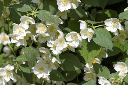 White jasmine flowers bloom in spring on a green bush Stock Photo