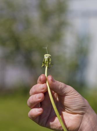 Last fuzz on a dandelion soon will break wind