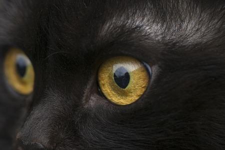 yellow eye cat close up