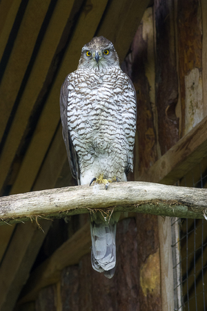 Northern goshawk Accipiter gentilis